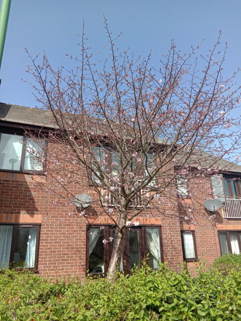 CherryBlossom Tree blooming in Spring